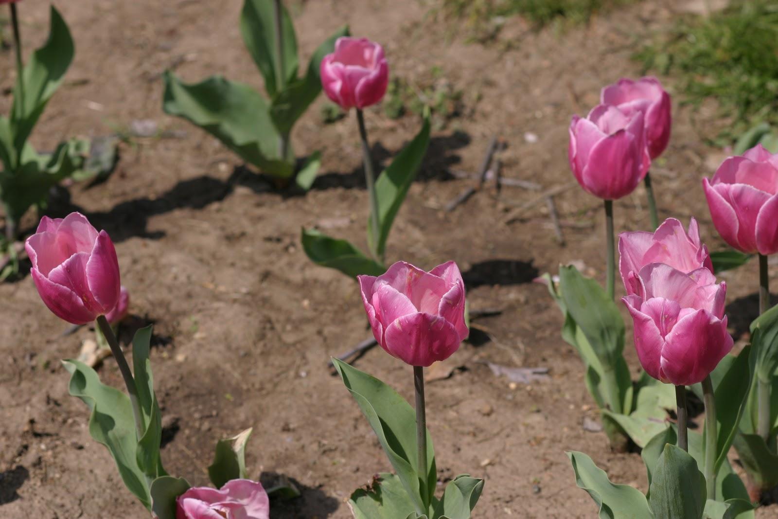 Julie\'s Journeys: Washington DC: Cherry Blossoms at the Tidal Basin ...