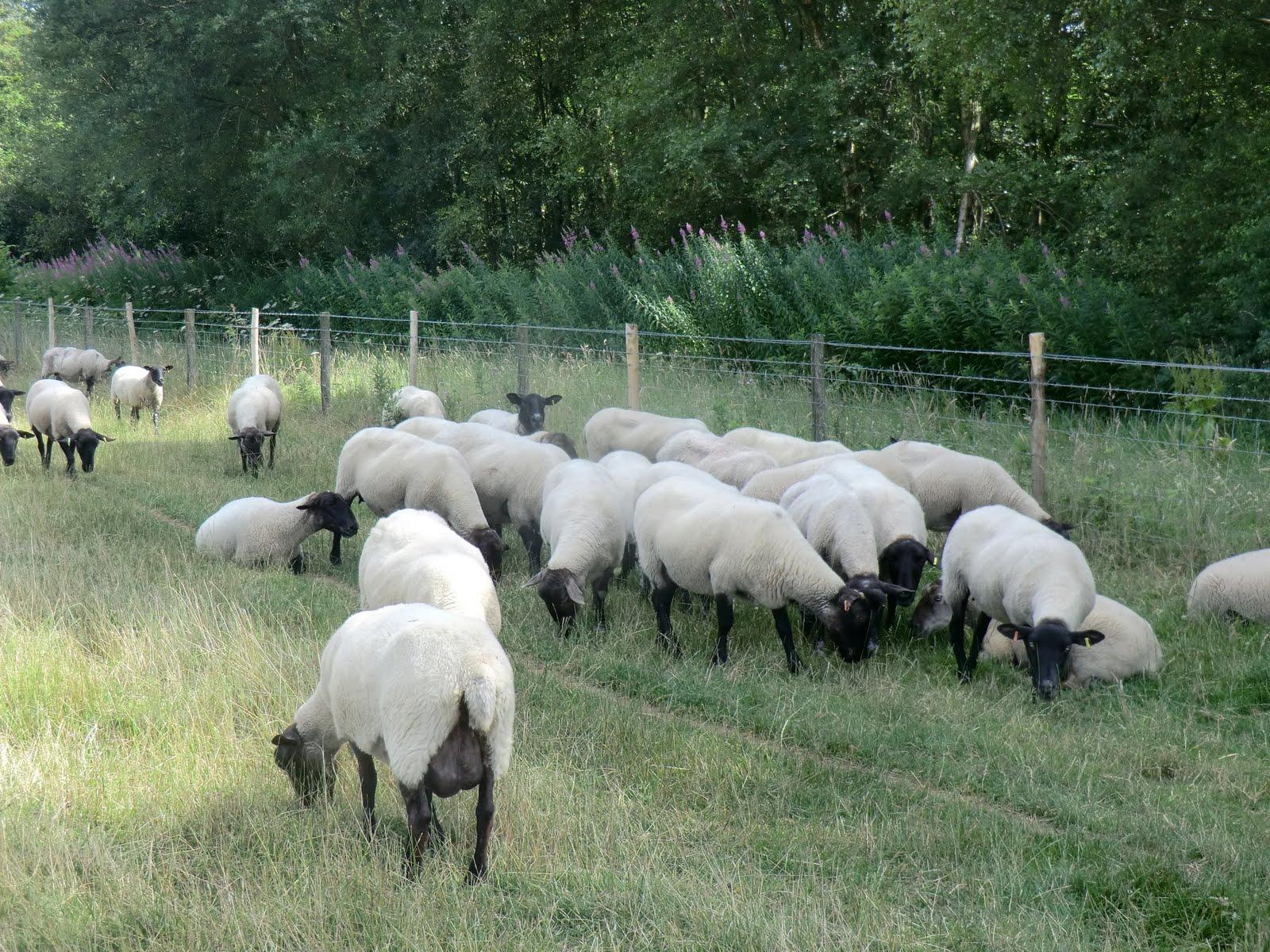 CIMG2932 Sheep on the Hucking Estate