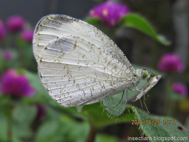 Kupu-kupu Leptosia nina baru menetas dengan probosis yang masih menempel di bekas kepompongnya_2