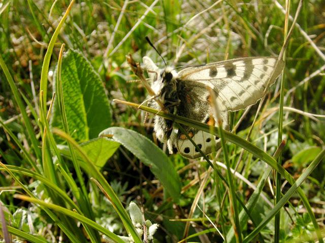 Parnassius (Koramius) delphius albulus HONRATH, 1889.  Tian Shan, Baybiche Tau, 18 km au Sud d'Uchkun (2350-2400 m), Kyrgyzistan, 23 juillet 2009. Photo : J. Ouvaroff
