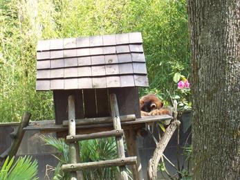 2005.05.18-010 petit panda