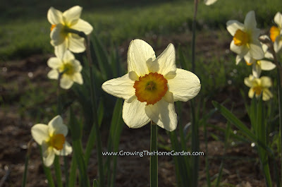 Daffodils Backlit by Sunshine
