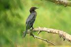 PYGMÉE  Le cormoran pygmée est le plus petit des cormorans. Il se réserve donc les plus petits poissons, de moins de cm de long !