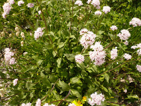 valeriane officinale, Valeriana officinalis 2.JPG