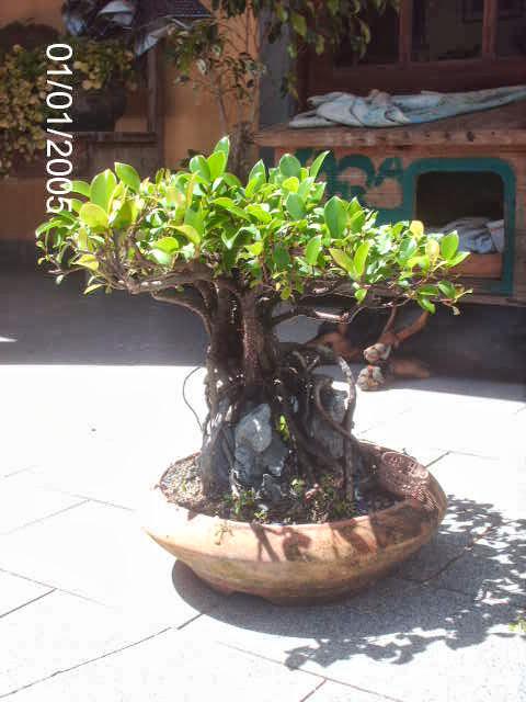 Ficus Microcarpa do Roberto Teixeira... PICT2386