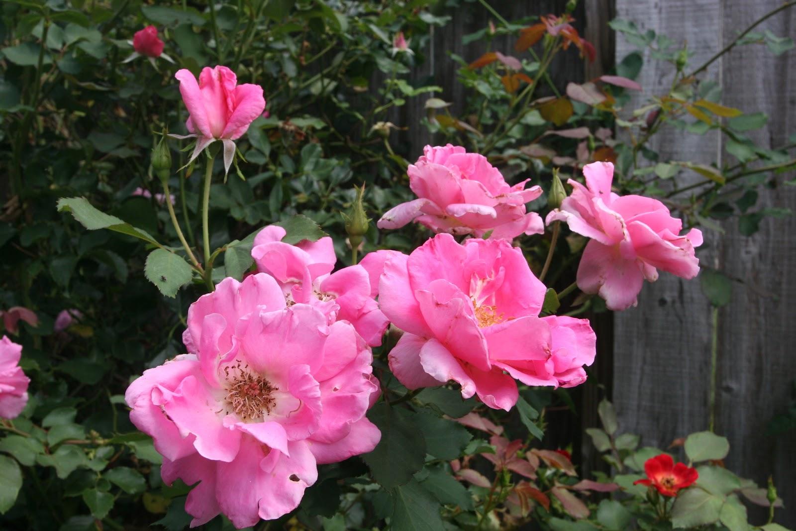 Gardening 2012 - IMG_3752.JPG