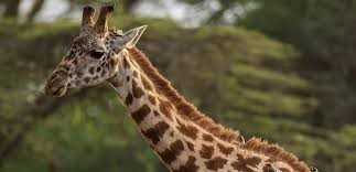 Top film director KILLED by a giraffe in South Africa