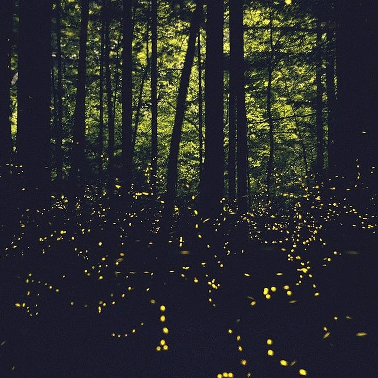 The Mystery of Synchronous Fireflies