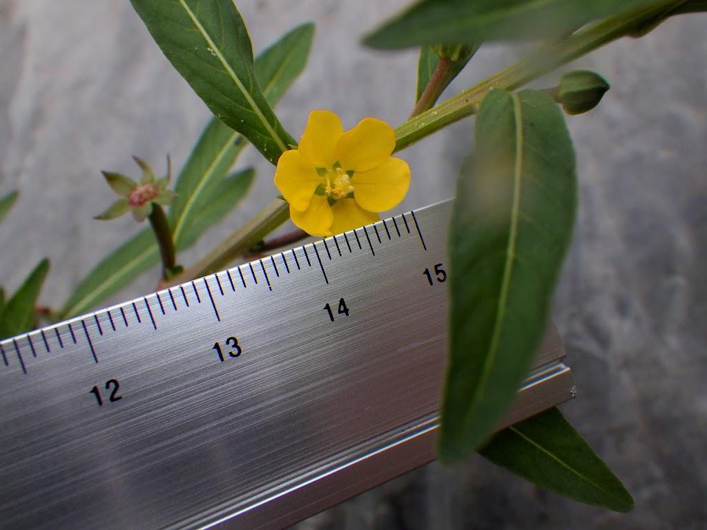 ウスゲチョウジタデの花径