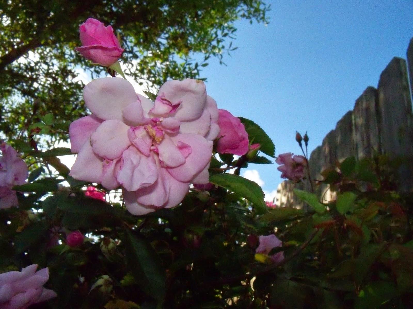 Gardening 2015 - 116_7648.JPG
