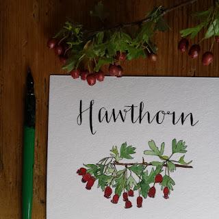 www.AliceDrawsTheLine.co.uk :: Hawthorn