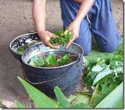 5 loài cây gây nghiện bạn có thể trồng hợp pháp trong nhà (2)