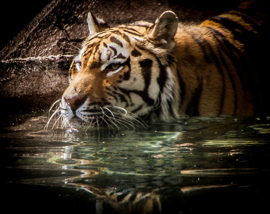 Tiger Swim by Ron Meyers - Animals Other Mammals ( tigers )