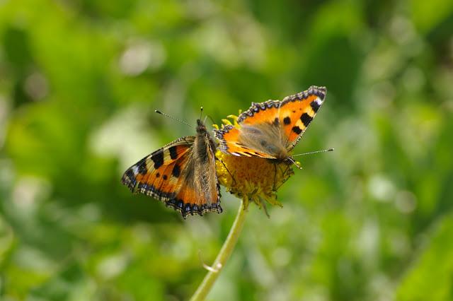 Aglais urticae LINNAEUS, 1758. Les Hautes-Lisières (Rouvres, 28), 11 juin 2010. Photo : J.-M. Gayman