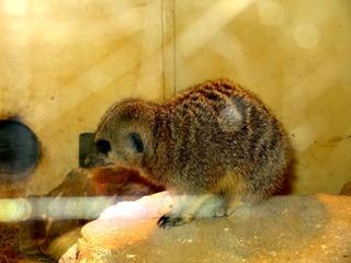 2016.07.31-024 suricate