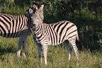Selv disse zebraer stod bare og gloede på, at vi passerede.