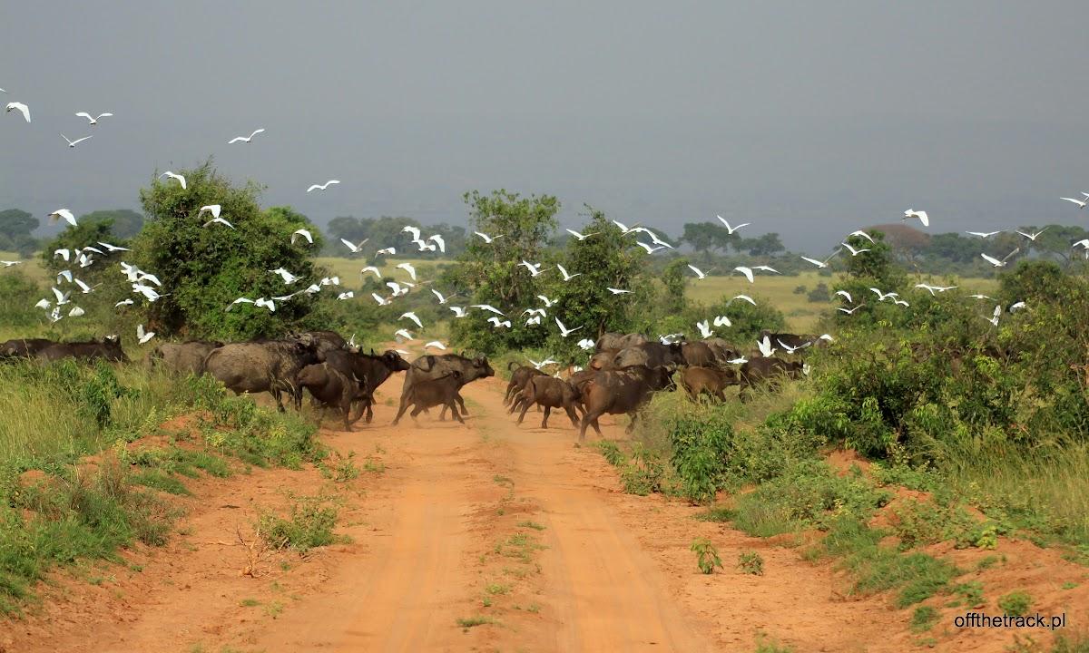 Stado bawołów przebiegające przez drogę w tle stado ptaków poderwane do lotu, park narodowy Murchison Falls, Uganda