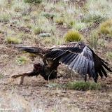 Águia caçando uma lebre - Ruta 40 rumo a El Calafate, Argentina