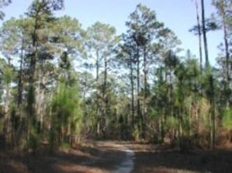 Longleaf Pine Pinus palustris forest, near Georgetown, South Carolina