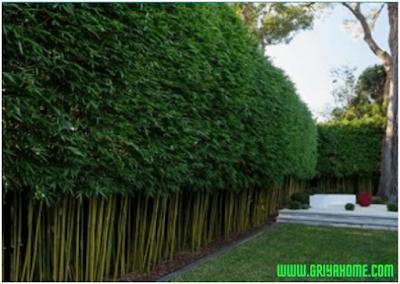 Bambu Pagar Hidup