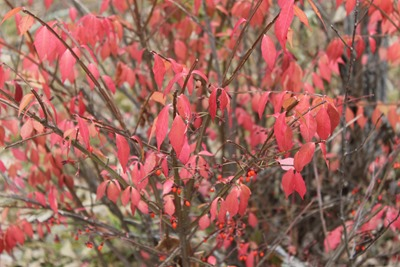 Euonymus putting on a show