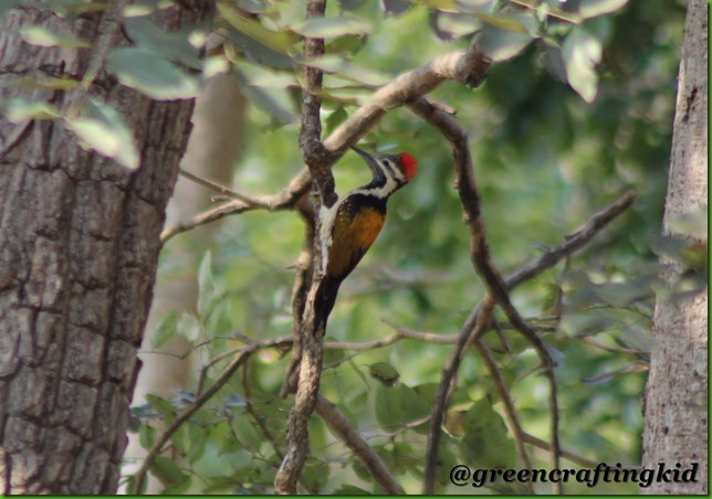 Black rumped woodpecker