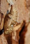 Skovperlemorsommerfugl, adippe - puppe.jpg