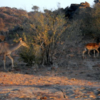 Tuli Block - Kudu and Springbok