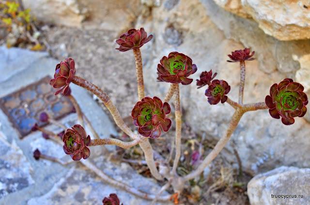 Кипр, цветы, растения, truecyprus
