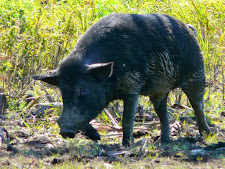 wildlife-wild-boar-3.jpg
