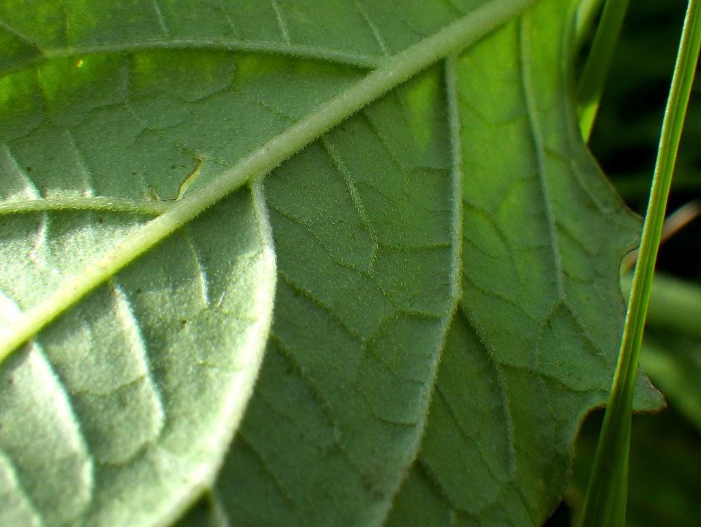 葉の裏が緑色の状態