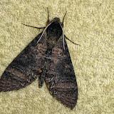 Sphingidae : Sphinginae : Manduca diffissa tropicalis (Rothschild & Jordan, 1903), mâle. San Juan, près de Caranavi, 1000 m (Yungas, Bolivie), 24 décembre 2014. Photo : Jan-Flindt Christensen