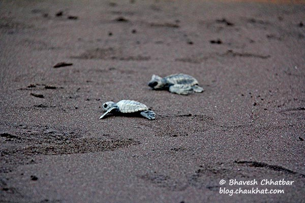 2 newborn Olive Ridley sea turtles taking their first steps to the Arabian Sea
