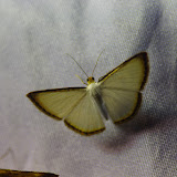 Ennominae : Leuciris fimbriaria (Stoll, 1781). Santa María en Boyacá, 1120 m (Boyacá, Colombie), 2 novembre 2015. Photo : J.-M. Gayman