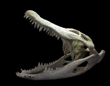 Gator-Skull_02