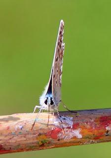 vlinder op kwast voor