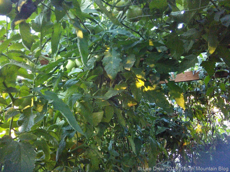 Tomatoes Growing Above the Ceiling 8 September 2015