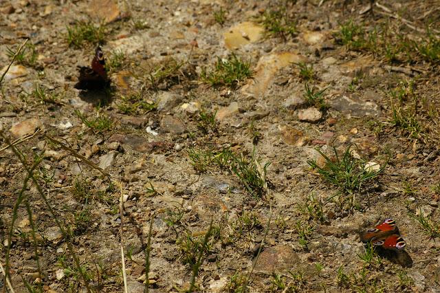 Deux Inachis io se réchauffant au soleil, vers 10 h le 10 juillet 2009. Les Hautes-Lisières. Photo : J.-M. Gayman