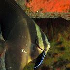 Batfish with cleanerfish (Dauin, Negros)