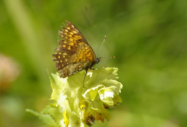 Mellicta diamina LANG, 1789, mâle. Vallon Claous (Mélezen, Ubaye). 6 août 2009. Photo : J.-M. Gayman