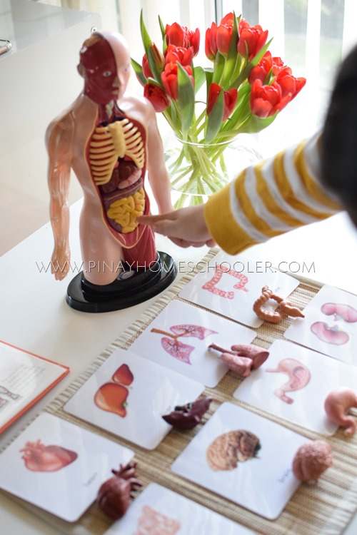 Internal Organs of the Human Body 3 Part Cards