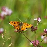 Didymaeformia didyma ESPER, 1779. Chevigny au Nord de Semur-en-Auxois. 18 juillet 2008. Photo : J.-M. Gayman