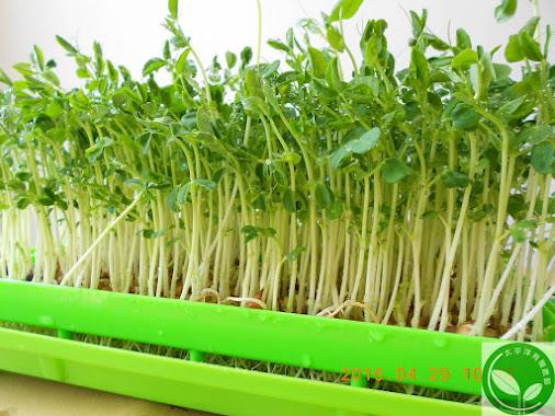 葉用豌豆種子