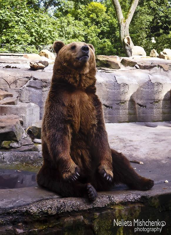 Bear in the Kaliningrad Zoo
