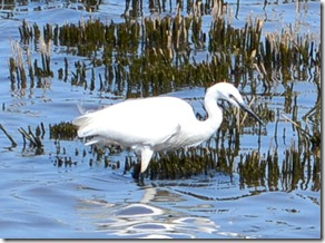 24a little egret