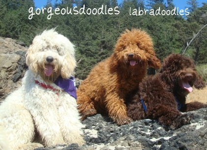 labradoodle for sale michigan