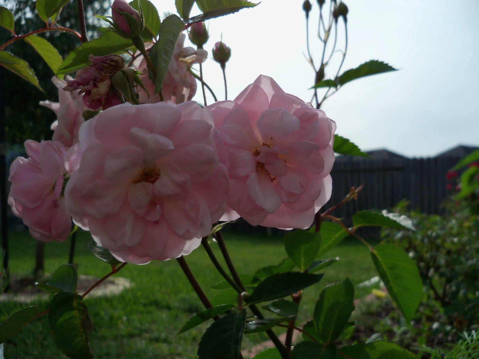 Gardening 2010 - 101_1407.JPG