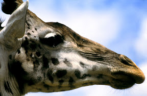Female Giraffe, Tanzania