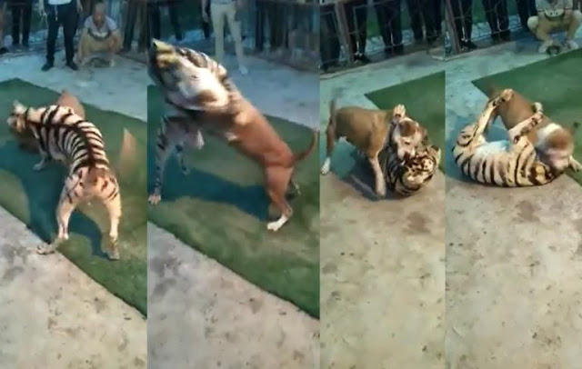 [Video] Pitbull Dog Defeats Tiger In Leaked Video From Underground Animal Fight Club Competition