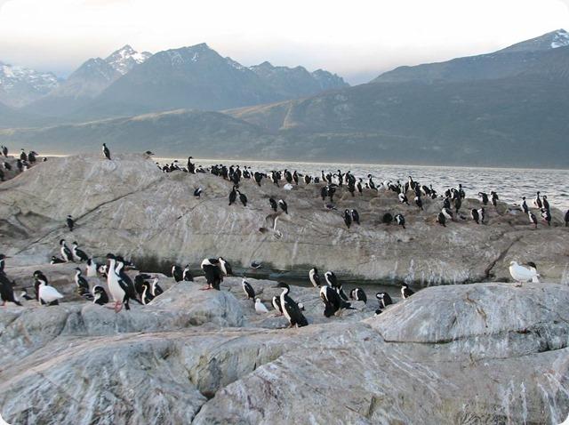 terradelfuoco_pinguini